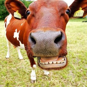 Form%20-%20Laughing%20Cow