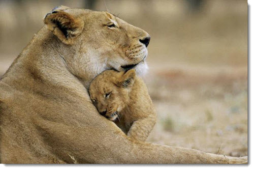 mother-baby-lion